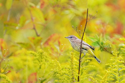 Palm Warbler (Fall migrant)