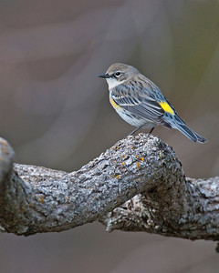 Yellow-rumped Warbler, Wichita Mountains Wildlife Refuge, OK