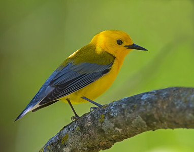 Prothonotary Warbler, Oxley Nature Center, OK