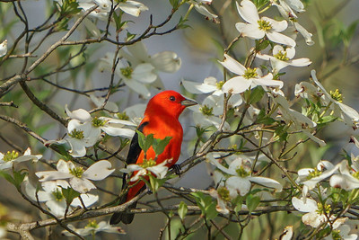 Scarlet Tanager in Dogwood