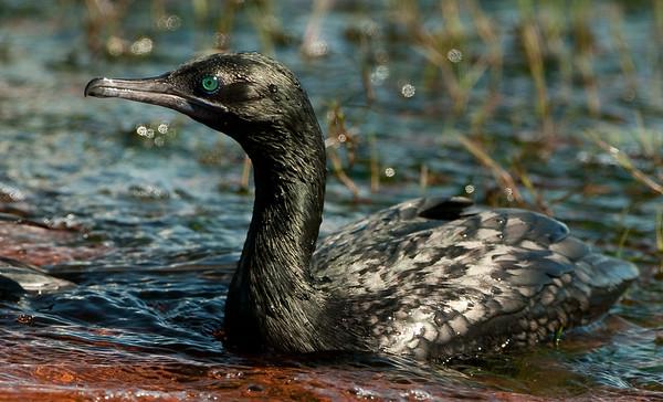 Darters and Cormorants