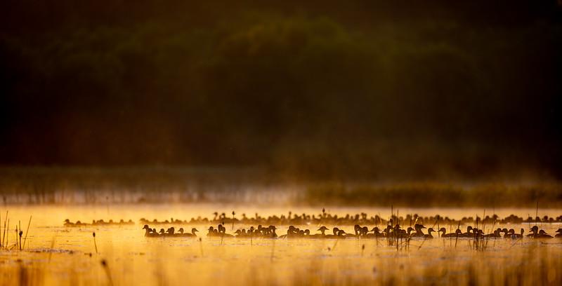 Whistling Ducks on golden pond