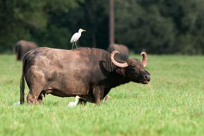 BuffaloWithEgret