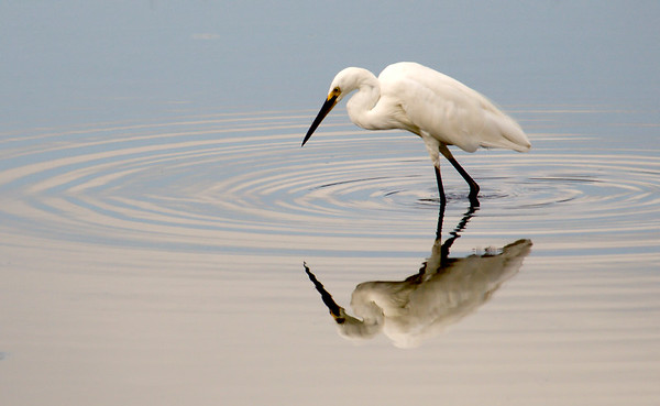 Egrets, Herons and Bitterns