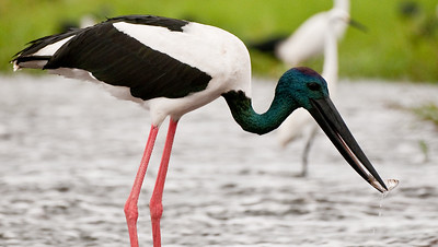 Male Jabiru with fish at Fogg Dam