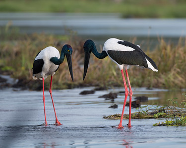 Jabiru pair at Fogg Dam