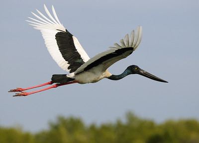 Male Jabiru in flight