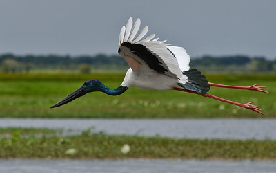 Male Jabiru in flight at Fogg Dam