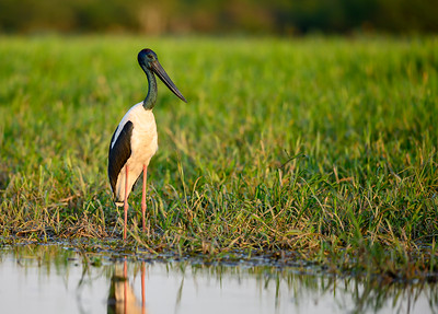 Male Jabiru at Yellow Waters Kakadu