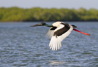 Female Jabiru in flight over the McArthur River