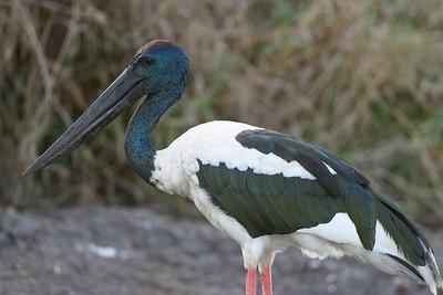 Male Jabiru