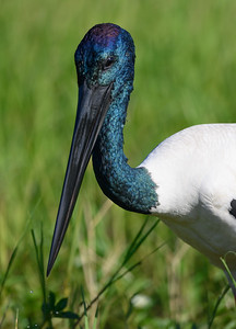 Male Jabiru closeup