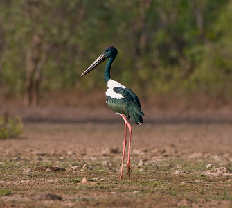 Male Jabiru at Hardies Billabong