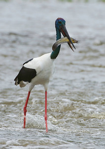Male Jabiru with catfish at Fogg Dam