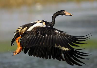 Magpe Goose lifting