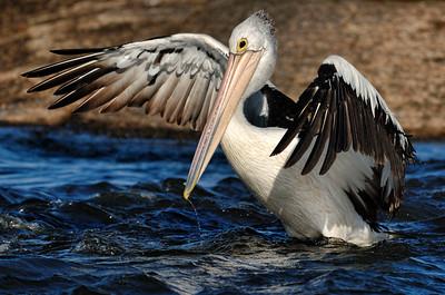 PelicanFishing