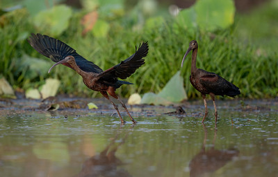 Glossy Ibis at Fogg Dam