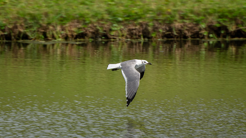 A Gull Flies Over A Pond