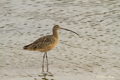"""""""Curlew"""""""