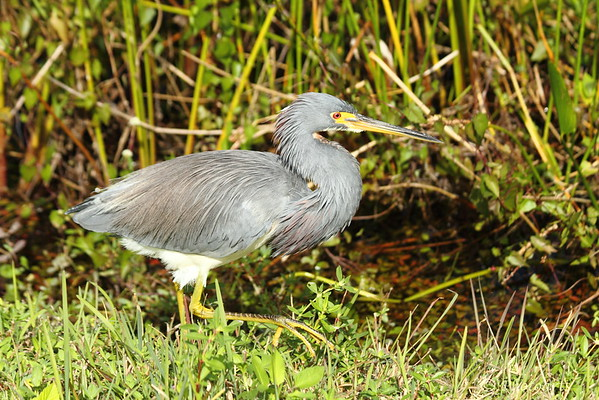 """Tricolored Heron"""