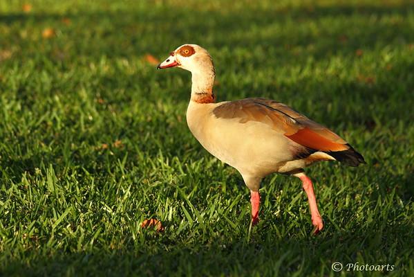 """""""Egyptian Goose"""""""
