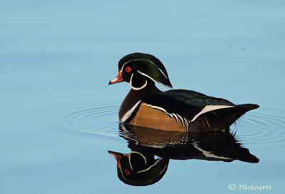 """""""Wood Duck"""""""