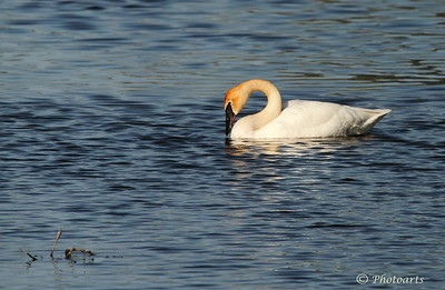 """Swan Curves"" Trumpeter Swan (Cygnus buccinator) was captured on the waters of Turnbull National Wildlife refuge in eastern Washington State.  #94051288  © Payam Nashery - Photoarts"