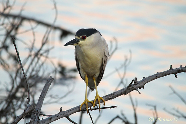 """Night Heron"""