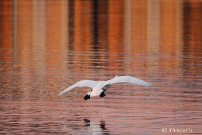 """Cleared to Land""  Trumpeter Swan comes in to land at Juanita bay park as the sunset reflection off the old pier lights up the lake. #90011362  © Payam Nashery - Photoarts"