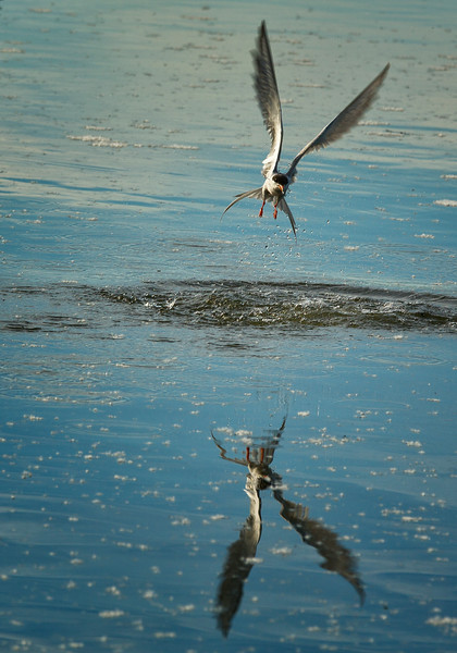 Forster's Tern coming up after plunge diving for fish, Buffalo Lake Aberta