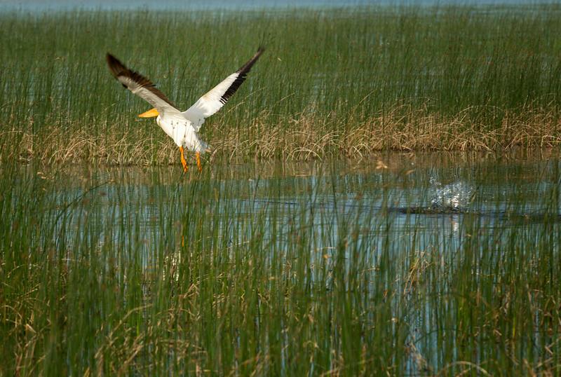 American White Pelican, Buffalo Lake Alberta