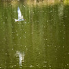 Forster's Tern, Buffalo Lake Aberta