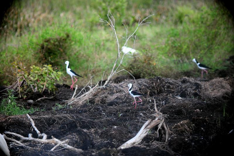 Himantopus (himantopus) leucocephalus, Common Stilt. Fogg Dam Conservation Reserve, NT, Australia. April 2015