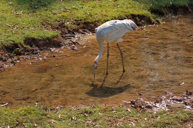 Brolga, Grus rubicunda. Territory Wildlife Park, NT, Australia. May 2008