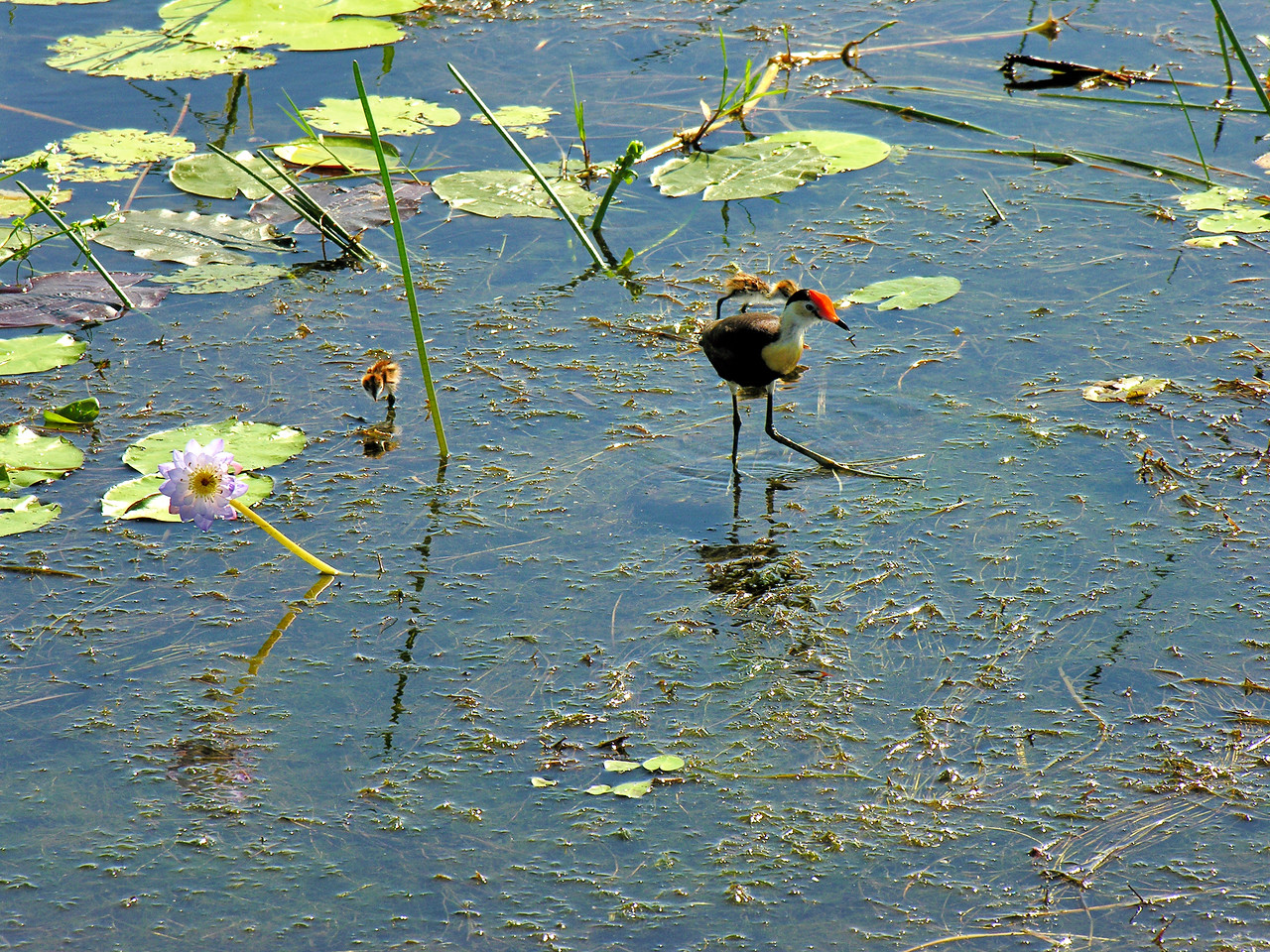 Comb-crested Jacana, Jesus bird, Irediparra gallinacea. Yellow Water Billabong, Kakadu National Park, NT, Australia. May 2007