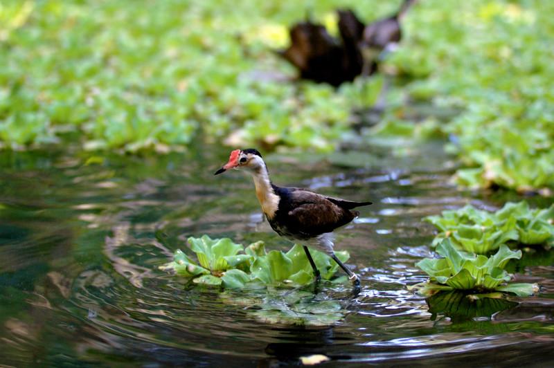 Comb-crested Jacana, Jesus bird, Irediparra gallinacea. Territory Wildlife Park, NT, Australia. May 2008