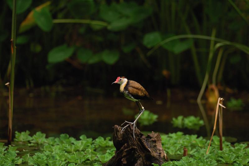 Comb-crested Jacana, Jesus bird, Irediparra gallinacea. Territory Wildlife Park, NT, Australia. March 2008