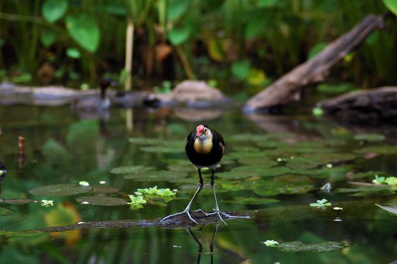 Comb-crested Jacana, Jesus bird, Irediparra gallinacea. Territory Wildlife Park, NT, Australia. September 2008