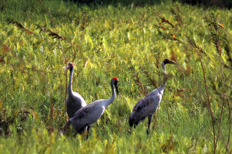 Brolga, Grus rubicunda. Fogg Dam Conservation Reserve, NT, Australia. November 2009