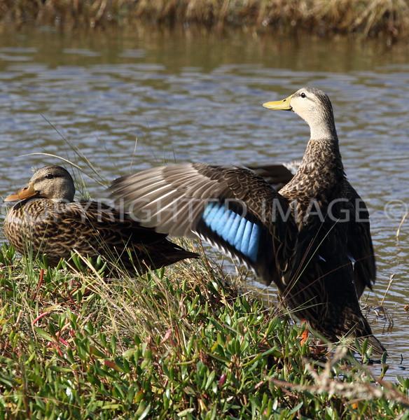 Mottled Ducks, female and male; Galveston County, TX, 2016.11.25