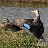 Mottled Ducks, female and male; Galveston County, TX, 2016.11.25