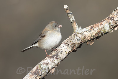 Dark-Eyed Junco ♀