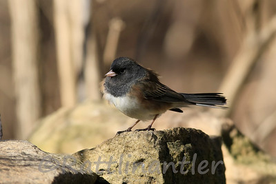 Dark-Eyed Junco - Oregon Type