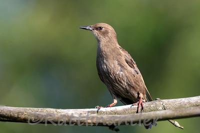 European Starling - Juvenile
