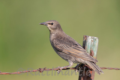European Starling - immature