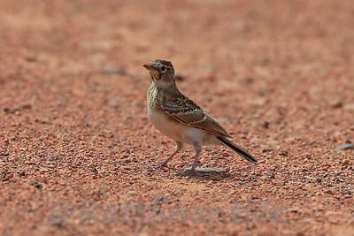 Horned Lark - Juvenile