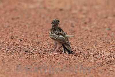 Horned Lark- Juvenile