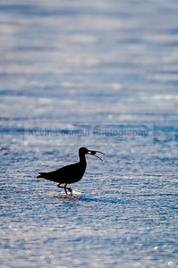 Whimbrel with Sand Crab
