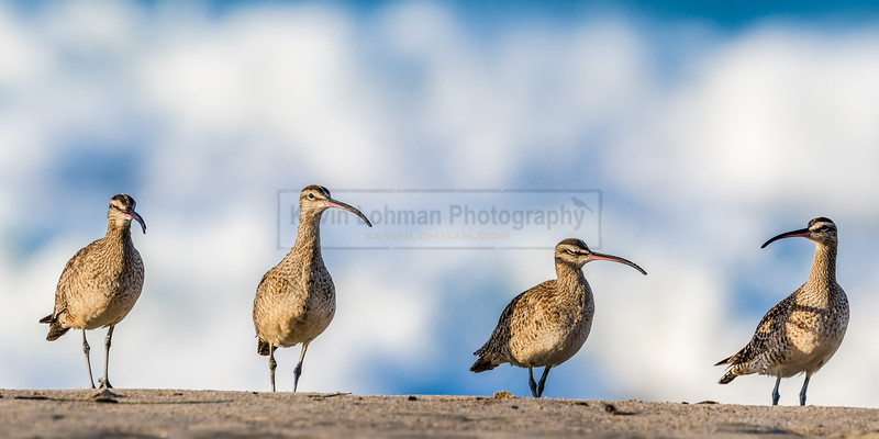 Four Whimbrels in a Line