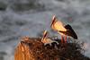 Cigüeña blanca- White Stork- Ciconia ciconia. Febrero 2011